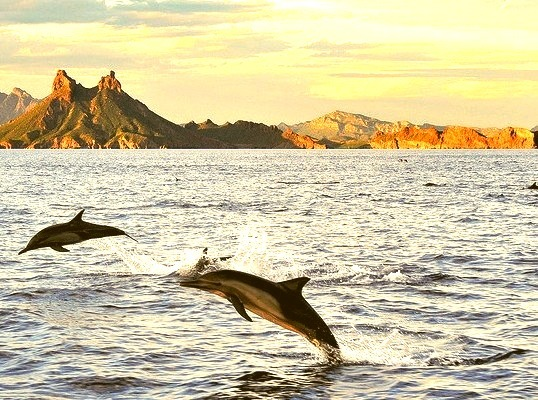 Dolphins at Tetakawi in Sonora, Mexico