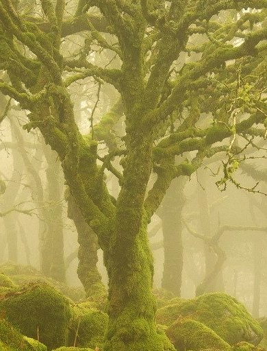 Trees in the mist, Dartmoor National Park, England